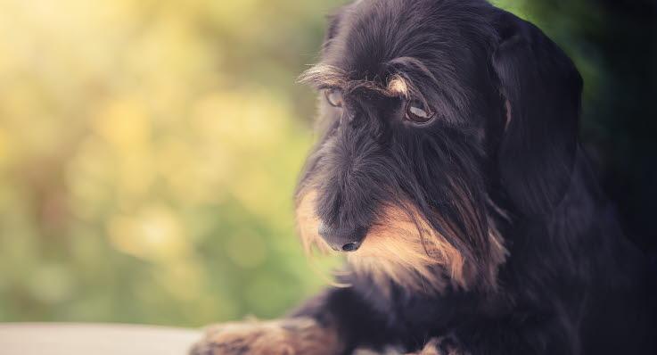 Virtsatietulehdus Koira