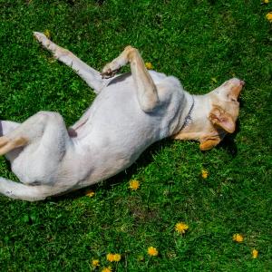 Koiran Märkivä Ihotulehdus