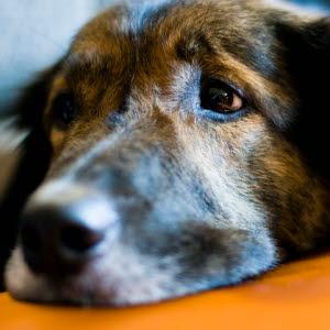 Koira Oksentelee