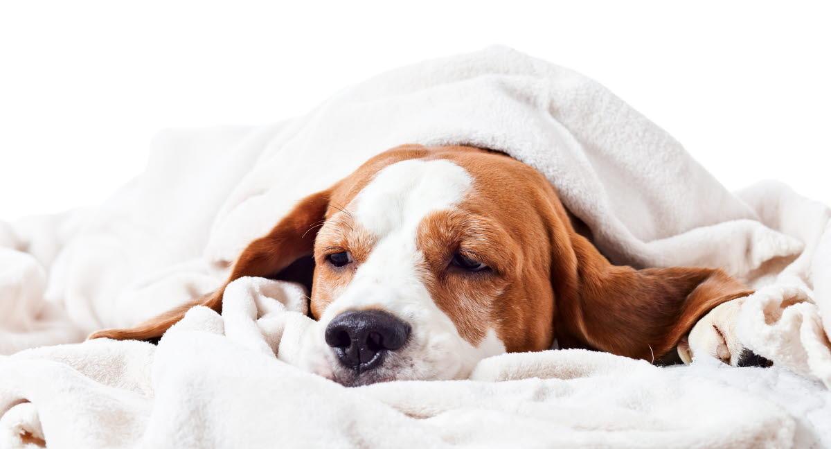 kohtutulehdus oireet koira