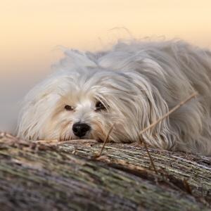 Artikkeleita allergia alalla Koira - Agria