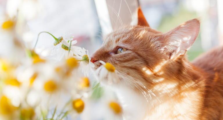 Kissa Lämpöhalvaus