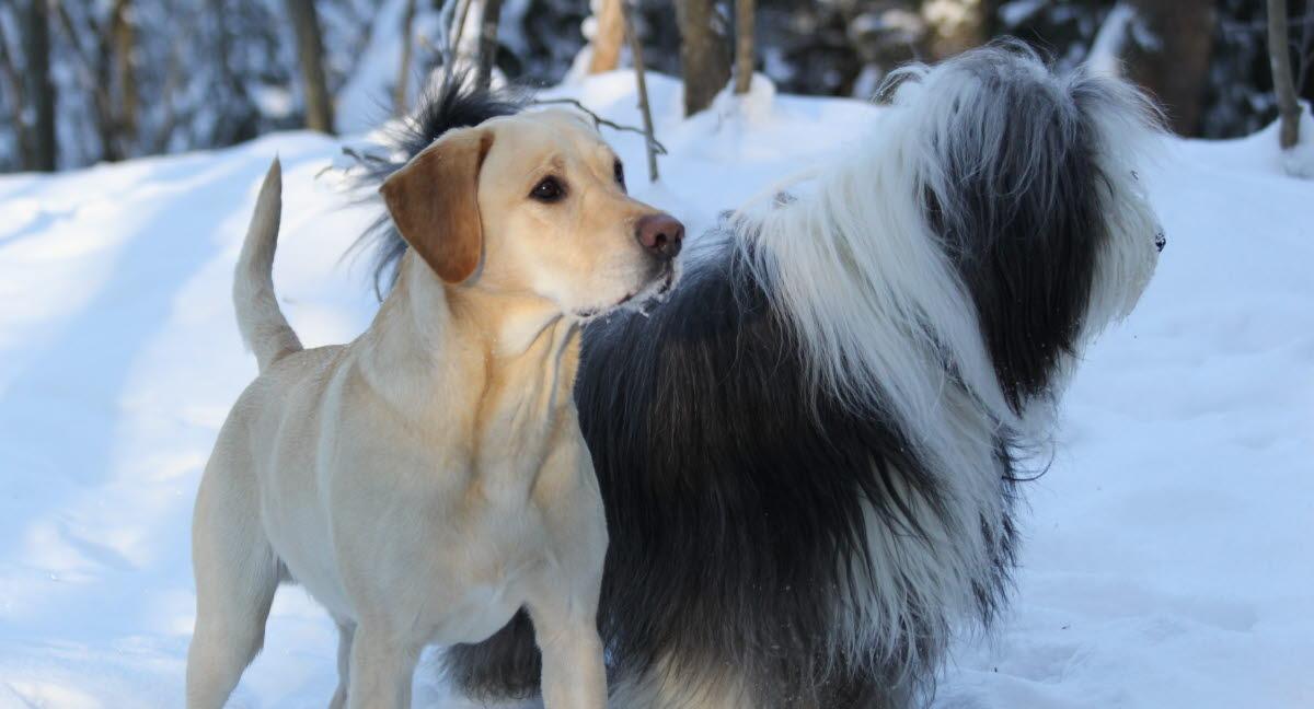 Koira Virtsatietulehdus